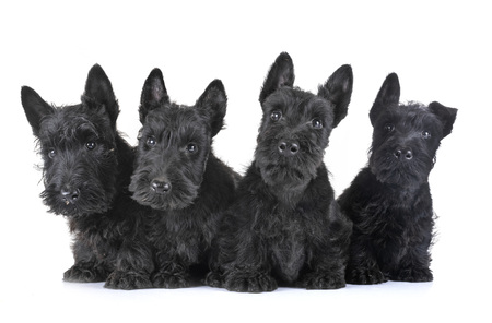 puppies scottish terrier in front of white background