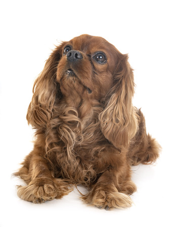 cavalier king charles in front of white background Stock Photo