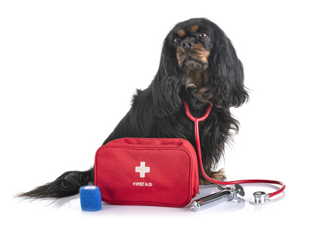 cavalier king charles and first aid in front of white background Фото со стока