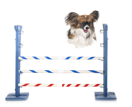 agility and little dog in front of white background