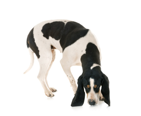 Schweizer Laufhund in front of white background Imagens