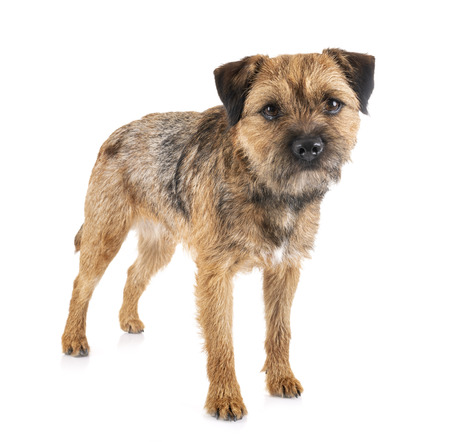 border terrier in front of white background