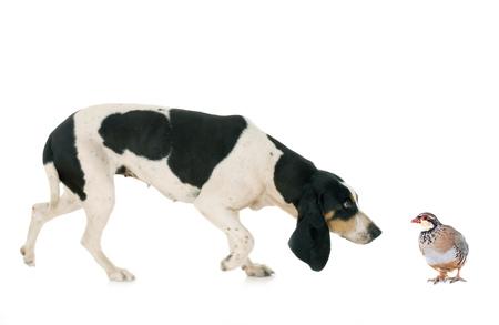 Schweizer Laufhund in front of white background Banque d'images