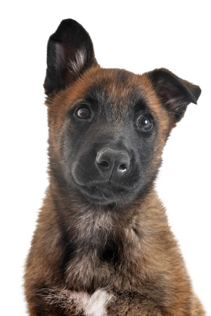 puppy belgian shepherd in front of white background