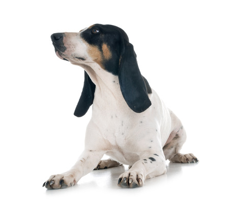 Schweizer Laufhund in front of white background Stockfoto