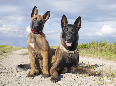 belgian shepherd puppy and adult in the nature