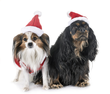 cavalier king charles and papillon in front of white background Stock Photo