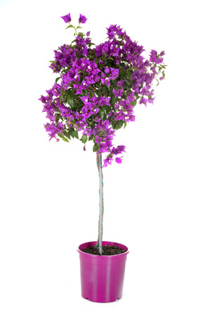 bougainvillea pink in front of white background