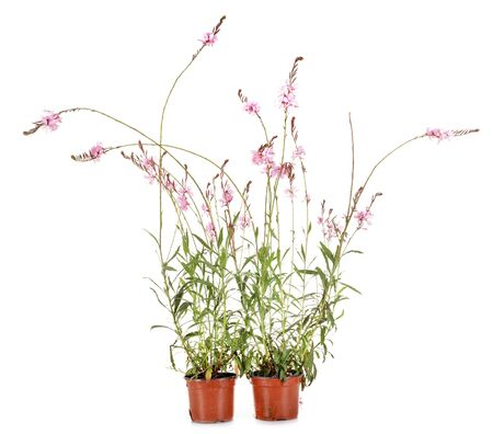 Gaura plant in front of white background