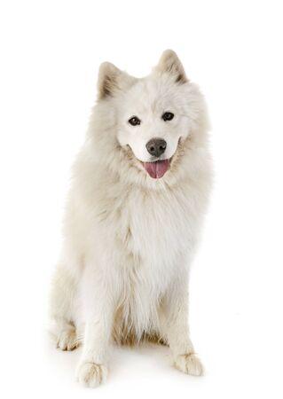 samoyed dog in front of white background Standard-Bild