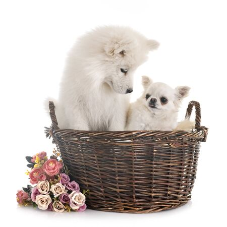 puppy samoyed dog and chihuahua  in front of white background Imagens