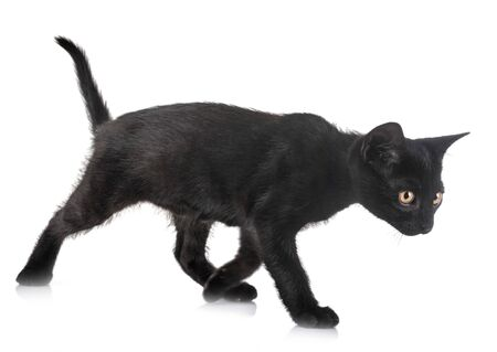 black kitten in front of white background