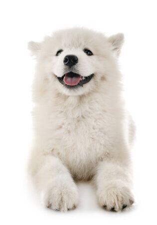 puppy samoyed dog in front of white background Standard-Bild