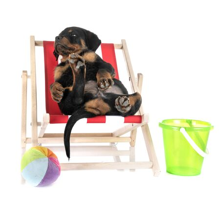 puppy rottweiler in front of white background Banque d'images