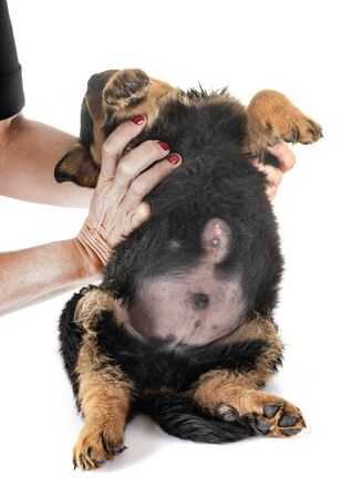 puppy with Umbilical hernia in front of white background