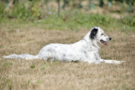 portrait of an english setter in the nature
