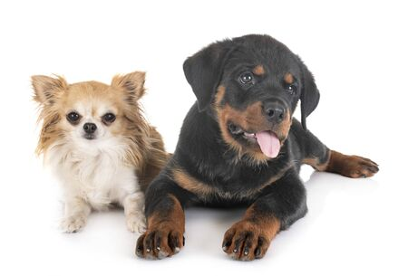 puppy rottweiler and chihuahua in front of white background Stock Photo