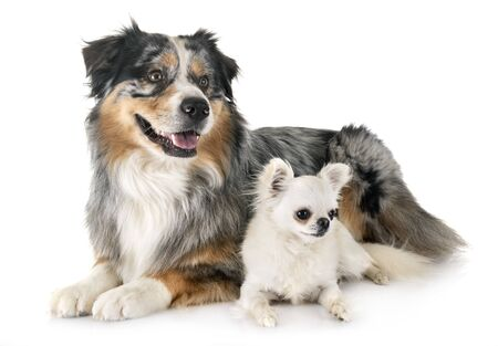 australian shepherd and chihuahua, in front of white background Stock Photo