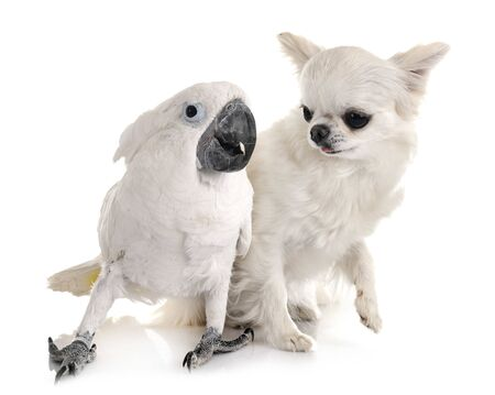 White cockatoo and chihuahua in front of white background