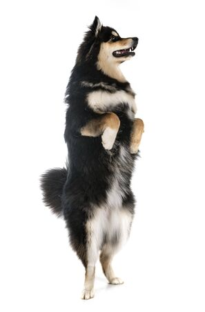 Finnish Lapphund in front of white background 写真素材