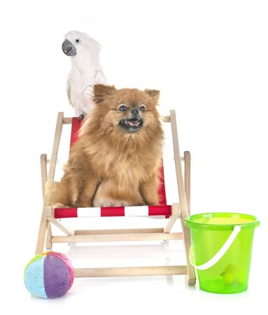 young pomeranian and cockatoo in front of white background