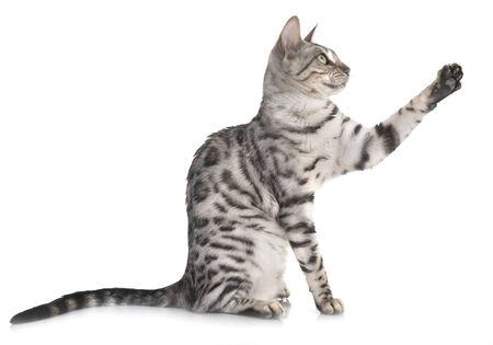 gato de bengala, delante de, fondo blanco