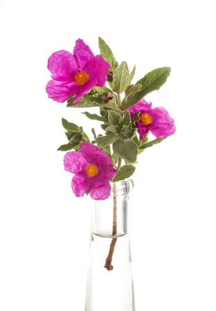 purple cistus in front of white background
