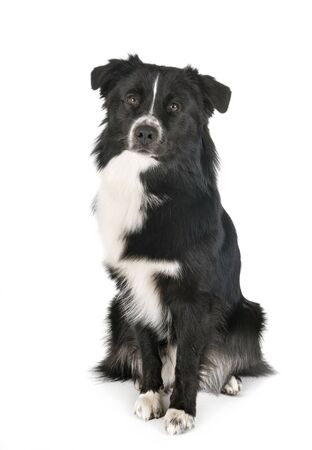 australian shepherd in front of white background 免版税图像