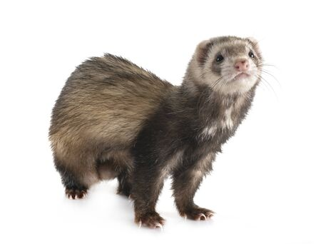 brown ferret in front of white background Stockfoto