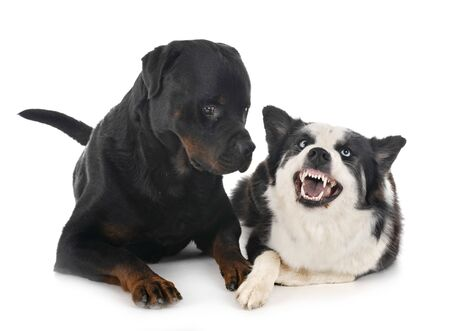 young Yakutian Laika and rottweiler in front of white background
