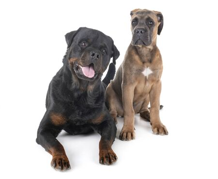 purebred rottweiler and cane corso in front of white background