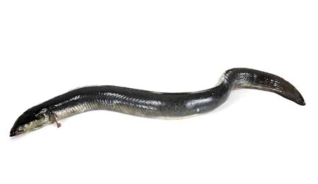 European eel in front of white background
