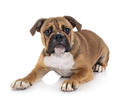 Continental bulldog in front of white background Stock fotó