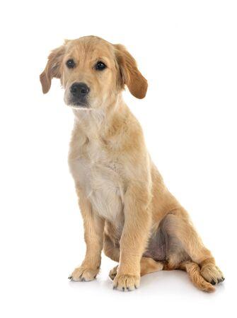 Cachorro golden retriever delante de un fondo blanco