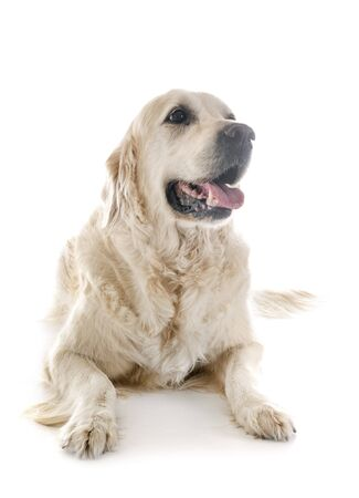 Cachorro golden retriever delante de un fondo blanco Foto de archivo