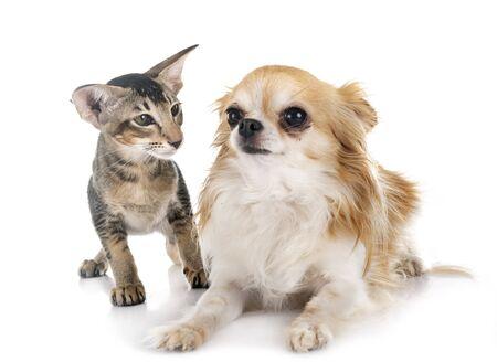 orientalisches Kätzchen und Chihuahua vor weißem Hintergrund Standard-Bild