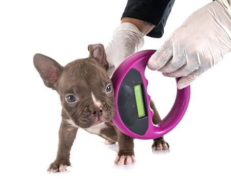 puppy american bully and microchip, in front of white background
