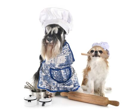 miniature schnauzer and chihuahua  in front of white background Banque d'images