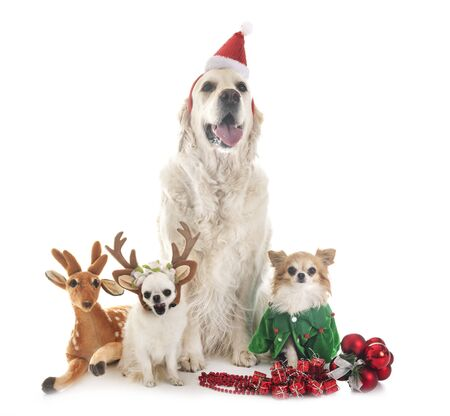 adult golden retriever and chihuahuas in front of white background