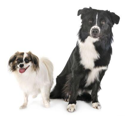 australian shepherd and palene dog in front of white background Stock Photo