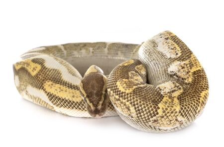 Ball python in front of white background 写真素材