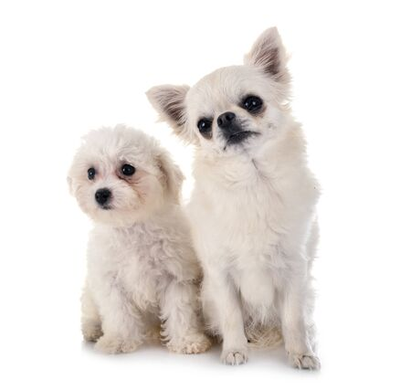 young Bichon Frise and chihuahua in front of white background