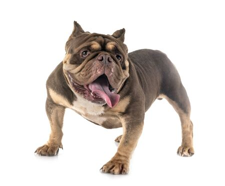 american bully in front of white background Archivio Fotografico