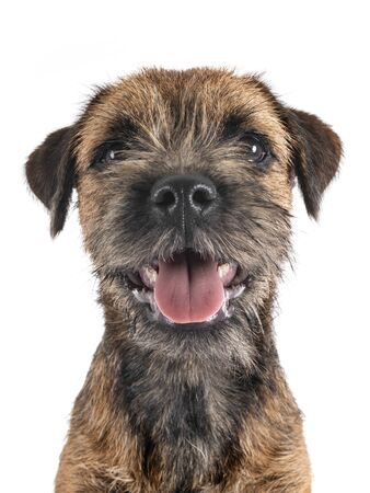 young border terrier in front of white background