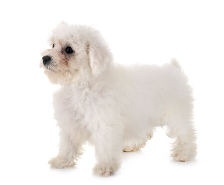young Bichon Frise in front of white background 免版税图像