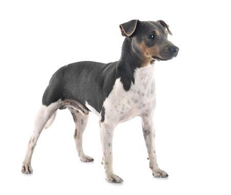 Brasilianischer Terrier vor weißem Hintergrund