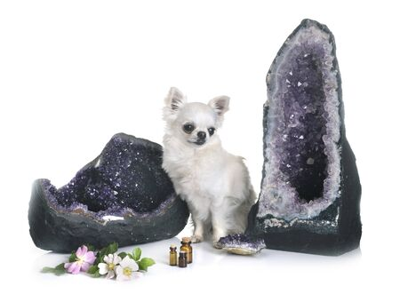 chihuahua and geode in front of white background