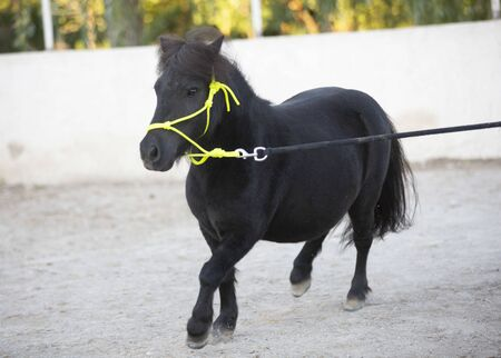 portrait of a miniature horse with ethological halter