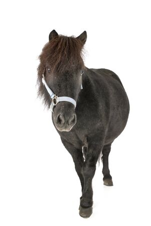 miniature horse in front of white background