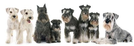 group of Schnauzers in front of white background Stok Fotoğraf